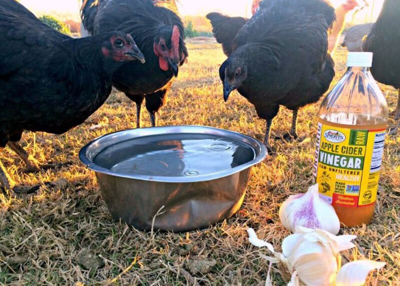 Apple cider vinegar for chickens