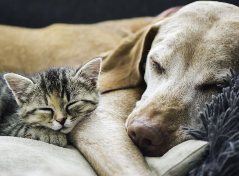 Supplement to Prevent Upper Respiratory Diseases in Dogs and Cats