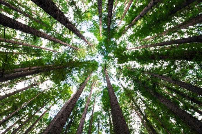Australian nursery trees